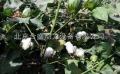 棉花采摘机小型棉花采摘机大型棉花采摘机多少钱采棉机吧