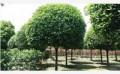 信誉的成都红叶李找绿化苗木,性价比高,服务好