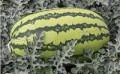 新疆大农种业有限公司,您身边的双红金5西瓜种子及双红金五