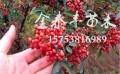 安徽花椒苗 划算的花椒树苗出售