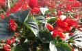 一串红供应商-想买好的一串红就到文霖花卉苗木种植