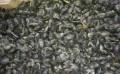 花甲厂家-辽宁哪里供应的花甲价格便宜