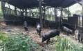 沈阳山黑猪哪里卖-就来忆农源黑猪
