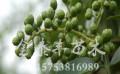 花椒树苗基地 想要易种植的花椒树苗就来金泰丰苗木