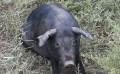 黑猪哪里有供应_通辽黑猪多少钱