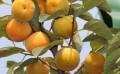 柿子树苗,6-15公分柿子树厂家批发直销,山西春秋苗圃