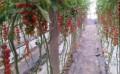 山东樱桃红小番茄供应商_樱桃番茄种子厂家