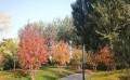 丛生茶条槭价格-优良丛生茶条槭首推沈阳美园苗木