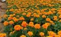 湖北孔雀草|长期供应孔雀草湖北孔雀草|长期供应孔雀草