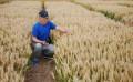 莱芜黑小麦种子批发-富民种子经营部专业批发牧草种子
