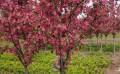 【好货,你懂得】红宝石海棠哪家好=景森=红宝石海棠供应商