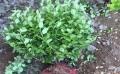 地栽卫矛找明美花卉苗木地栽卫矛找明美花卉苗木