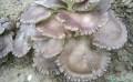 长兴褐灵菇,湖州褐灵菇批发,湖州金线莲