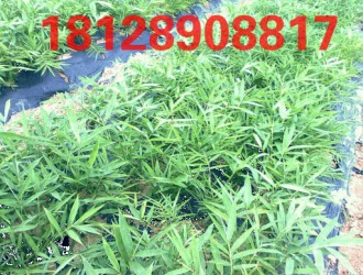 产地直销各类优质竹苗