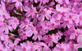 宿根花卉在种植方面的优势